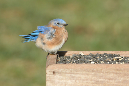 bluebird: Male Eastern Bluebird (Sialia sialis) perched on a feeder