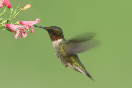 male animal: Male Ruby-throated Hummingbird (archilochus colubris) in flight with a flower and a green background
