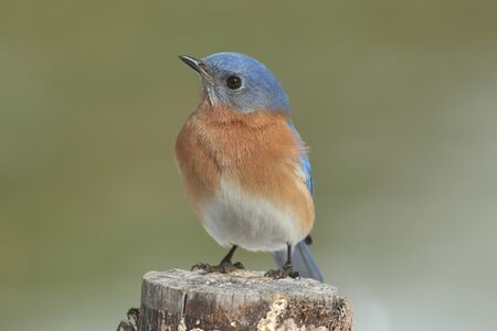 eastern bluebird: Male Eastern Bluebird (Sialia sialis) on a perch with a green background Stock Photo