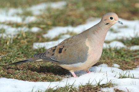 dove   bird: Mourning Dove (Zenaida macroura) in snow  in winter