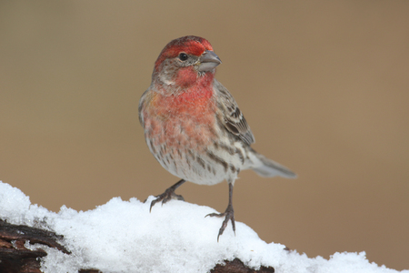 finch: House Finch (Carpodacus mexicanus) on a branch covered with snow