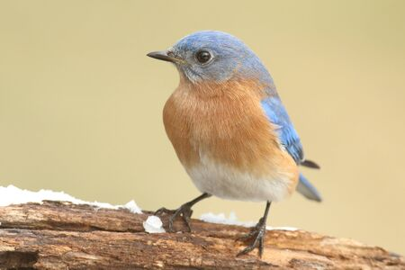 male animal: Male Eastern Bluebird (Sialia sialis) on a snow covered perch Stock Photo