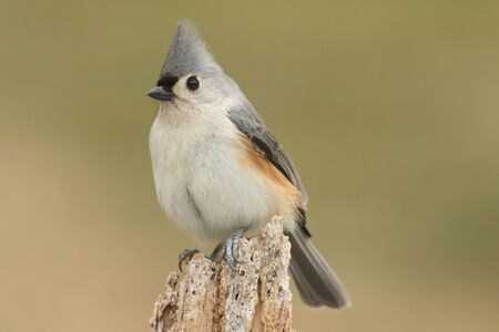 titmouse: Tufted Titmouse (baeolophus bicolor) on a stump with a green background