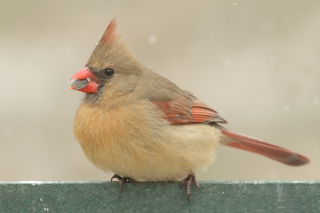 snow cardinal: Female Northern Cardinal (cardinalis cardinalis) on a feeder in winter during a light falling snow Stock Photo