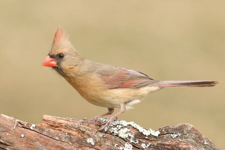 female cardinal: Female Northern Cardinal (cardinalis) on a branch