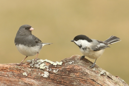bicolor: Tufted Titmouse (baeolophus bicolor) and a Dark-eyed Junco (junco hyemalis) on a stump with a green background