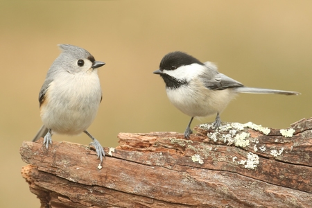 titmouse: Tufted Titmouse (baeolophus bicolor) and a Black-capped Chickadee (poecile atricapilla) on a stump with a green background Stock Photo