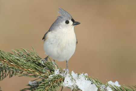 bicolor: Tufted Titmouse (baeolophus bicolor) on a tree in with snow