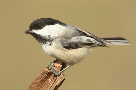 poecile: Black-capped Chickadee (poecile atricapilla) on a stump in winter