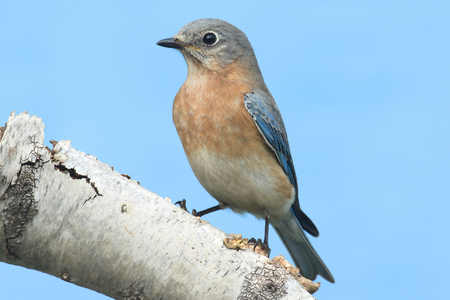 eastern bluebird: Female Eastern Bluebird (Sialia sialis) on a birch perch with a blue background Stock Photo