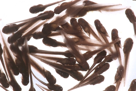 rana: Wood Frog Tadpoles (Rana sylvatica) - A group of tadpoles (or pollywogs) is called an Army. Stock Photo
