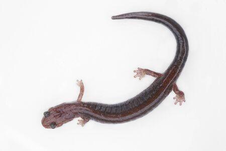 salamandre: Lead-backed form of the Red-backed Salamander (Plethodon cinereus) on white Banque d'images