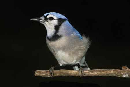 blue jay bird: Blue Jay (corvid cyanocitta) perched with a black background Stock Photo