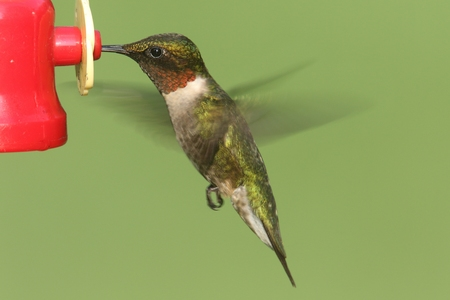feeders: Male Ruby-throated Hummingbird (archilochus colubris) in flight at a feeder with a green background