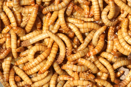 larval: Mealworms (Tenebrio molitor) are the larval form of Darkling Beetles and a popular food for pet reptiles and amphibians