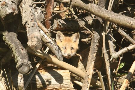 peaking: Red Fox Kit (vulpes) peaking out of the den
