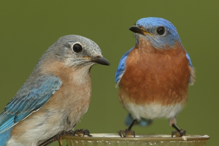 eastern bluebird: Pair of Eastern Bluebird (Sialia sialis) on a feeder