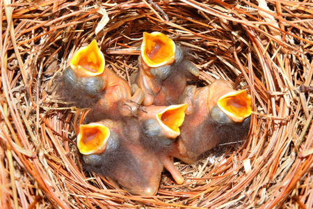 eastern bluebird: Eastern Bluebird (Sialia sialis) nest with five babies approximately four days old Stock Photo