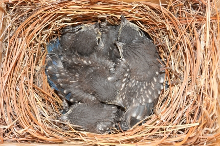 eastern bluebird: Eastern Bluebird (Sialia sialis) nest with five babies approximately two weeks old Stock Photo