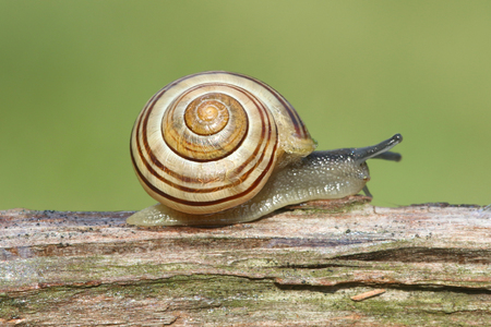 Grove also known as Brown-lipped Snail (Cepaea nemoralis) on a log