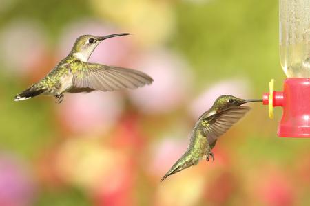 Masculinos y femeninos Colibríes Garganta de Rubí (colubris del archilochus) en vuelo en un alimentador con un fondo multicolor