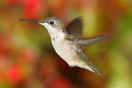Juvenile Ruby-throated Hummingbird (archilochus colubris) in flight with colorful flowers in the background Stock Photo