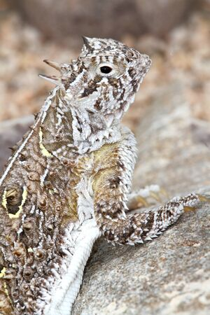 slither: Texas Horned Lizard (Phrynosoma cornutum) in New Mexico
