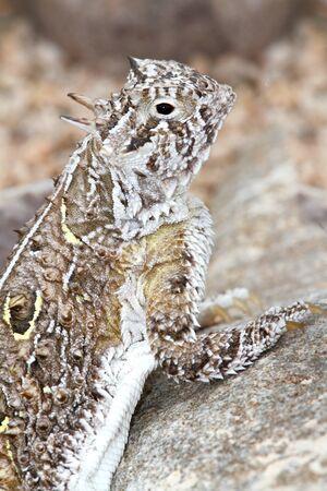 coldblooded: Texas Horned Lizard (Phrynosoma cornutum) in New Mexico