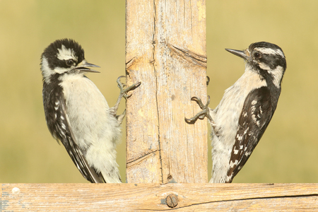 downy woodpecker: Female Downy Woodpecker (Picoides pubescens) on a fence with her baby