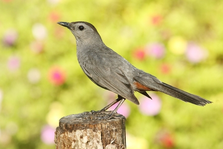 catbird: Gray Catbird (Dumetella carolinensis) on a perch with flowers