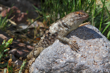 slither: Twin-spotted Spiny Lizard (Sceloporus bimaculosus) in New Mexico