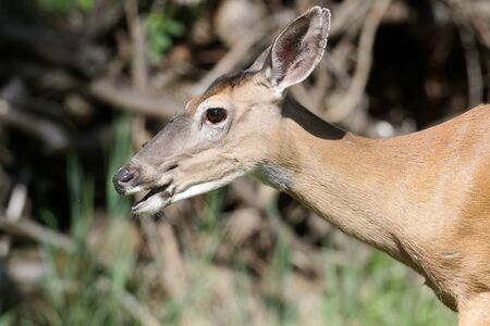 virginianus: White-tailed Deer (Odocoileus virginianus) doe with a greenl background Stock Photo