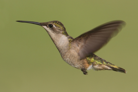 ruby throated: Female Ruby-throated Hummingbird (archilochus colubris) in flight with a green background