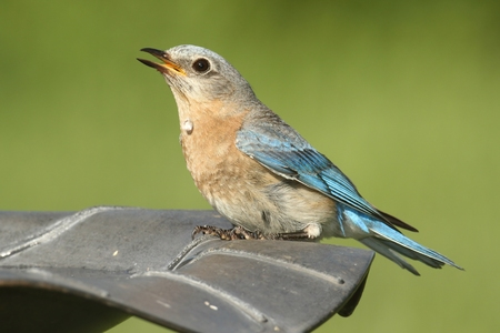Female Eastern Bluebird (Sialia sialis) taking a drink from a bird bath Stock Photo