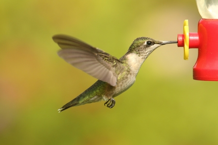 Juvenile Ruby-throated Hummingbird (archilochus colubris) in flight at a feeder with a green background Stock Photo