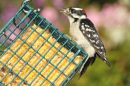 downy woodpecker: Male Downy Woodpecker (Picoides pubescens) on a suet feeder with a colorful background