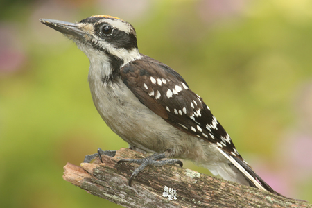 Juvenile Hairy Woodpecker (Picoides villosus) on a branch colorful background Stock Photo