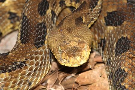 serpiente de cascabel: Cascabel de madera (Crotalus horridus) espiral a la huelga. Esta especie se considera amenazada o en peligro de extinción en la mayor parte de su gama Foto de archivo