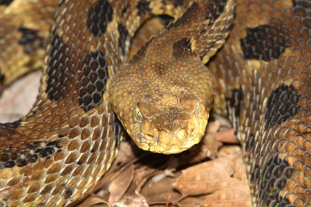 slither: Timber Rattlesnake (Crotalus horridus) coiled to strike. This species is considered threatened or endangered over much of its range Stock Photo