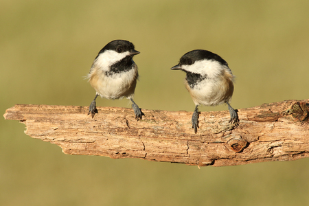 Pair of Black-capped Chickadees (poecile atricapilla) on a branch
