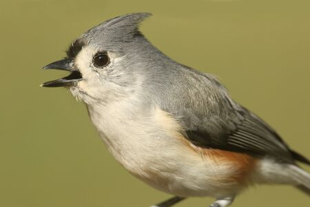 Tufted Titmouse (baeolophus bicolor) close-up with a green background