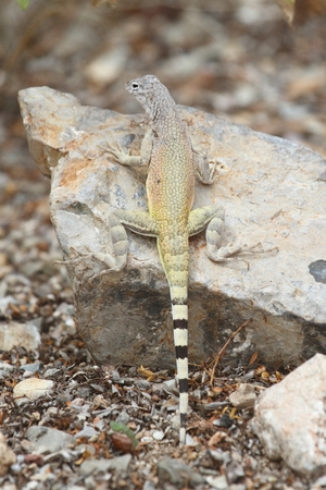 slither: Zebra-tailed Lizard (Callisaurus draconoides) in New Mexico