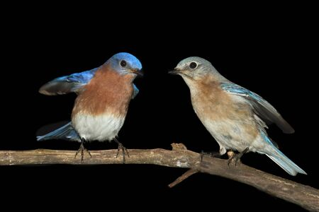 Eastern Bluebirds (Sialia sialis) on a perch with a black background Stock Photo