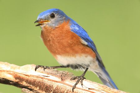 Male Eastern Bluebird (Sialia sialis) on a perch with a green background Stock Photo