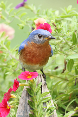 eastern bluebird: Male Eastern Bluebird (Sialia sialis) on a fence with flowers
