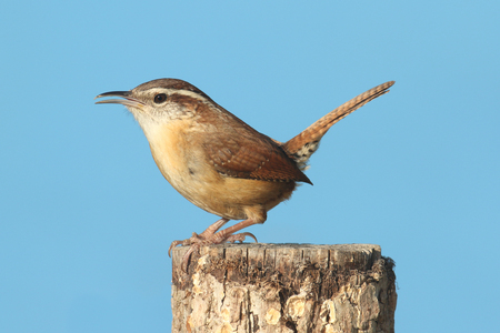 Carolina Wren (Thryothorus ludovicianus) on a post with a blue background Stock Photo