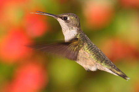 Female Ruby-throated Hummingbird (archilochus colubris) in flight with a colorful floral background Stock Photo