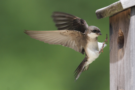 bringing: Tree Swallow (tachycineta bicolor) bringing food to the nest