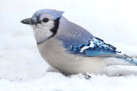 wither: Blue Jay (corvid cyanocitta) in wither with snow