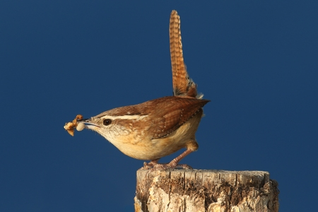 thryothorus: Carolina Wren (Thryothorus ludovicianus) on a branch with a worm and a dark blue background Stock Photo